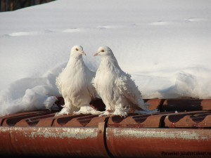 porumbei-iarna2